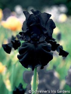 Hello Darkness | Tall BeardedHello Darkness surpasses all other dark Iris both in flower size and in the sheer degree of its black color. See the absolute uniformity with which the obsidian purple-black tones are applied. Each ruffled petal has stiff substance and enjoys a rich velvety texture. Strong stems yield three good branches bearing 6-7 buds.