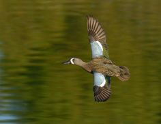 Blue Winged Teal male Teal Duck, Blue Winged Teal, Duck Cartoon, Blue Wings, Swans, Woodcarving, Rifles, Taxidermy, Ducks