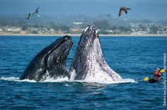 Kayaker is surprised by two humpback whales in Monterey Bay, California