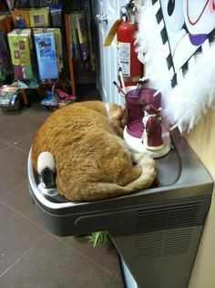 2013 Funny Cat Sleeping / Pictures / Photos / Strangest Places for a Cat Nap Funny Cat Memes, Funny Dogs, Funny Animals, Cute Animals, Awkward Animals, Crazy Cat Lady, Crazy Cats, Cat Mouse, Cat Sleeping