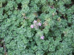 Woolly Thyme Care – How To Grow Woolly Thyme Plants