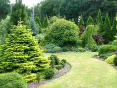 Abies nordmanniana 'Golden Spreader', front left, with Emmenopterys henryi,and Taxodium distichum 'Cascade Falls to the rear.