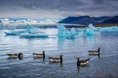 Five barnacle geese swimming in the blue, cold water of the Jokulsarlon glacier lagoon in South Iceland, Europe. Available as poster, framed fine art print, metal, acrylic or canvas print. (c) Matthias Hauser hauserfoto.com