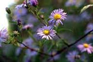 Swamp Aster (Aster puniceus) Bloom Period: September-October Bloom Color: Lavender Height: 4-5 ft Location: Sun-Part-sun