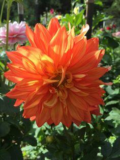 Flamethrower dahlia Candle Spells, Dahlia Flower, Dahlias, Divorce, Beautiful Flowers, Cactus, Candles, Plants, Garden