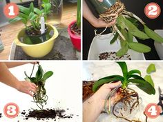 How To Keep Orchids Alive And Looking Gorgeous Orchid Pot, Orchid Plants, Orchid Repotting, Gardening Magazines, Gardening Tips, Orchids In Water, Orchid Centerpieces, Growing Orchids, Phalaenopsis Orchid