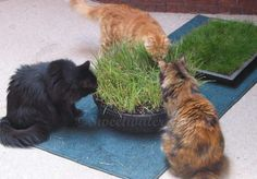 Indoor Cat Lawn and cat grass.  Great tips on how plant and grow grass for your kitties ;))