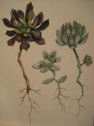 Image result for succulent drawing