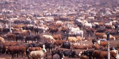 Sustainable Table   Industrial Livestock Production - Animal production has gotten so far from the traditional methods of farming that the government no longer refers to these operations as farms.