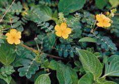 Τριβόλι Herbal Medicine, Life Is Beautiful, Gardening Tips, Board Games, Herbalism, Flora, Herbs, Plants, Dreams