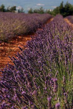 Lavender rows.