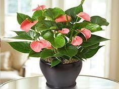Antúrios - Plantas que purificam o ar de sua casa