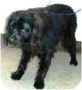 """Clark"" Breed: 	Newfoundland Mix 	Color: 	Black 	Age: 	Adult  Size: 	Large 61-100 lbs (28-45 kg) 	Sex: 	Male 	ID#: 	13737953  High Kill in Pasco, WA"