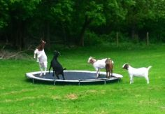 trampoline pour chèvres...