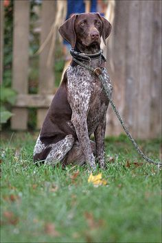 Love me a beautiful GSP pic