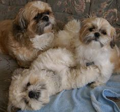 The origin of Shih Tzu is ancient and is covered in a lot of mystery. It has been established that this dog is among the 14 oldest breeds and bones excavated in Chien Shih Tzu, Shih Tzu Puppy, Shih Tzus, I Love Dogs, Cute Dogs, Baby Animals, Cute Animals, Shih Poo, Ewok