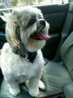 Meet Boaz a Petfinder adoptable Shih Tzu Dog | Plano, TX | Boaz is a gorgeous 12yr old boy, who finds himself in need of a new home to love him for the rest...
