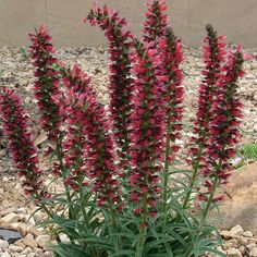 Echium russicum - Vipérine rouge d'Europe