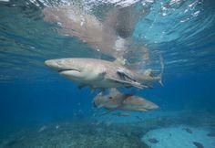 Fascinating Facts About Lemon Sharks: Lemon Sharks