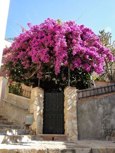 bougainvillea ..  X ღɱɧღ || Elba, Italy, known as the jewel of the Mediterranean