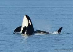 Hey, my SpyhoppingSpot. @Aboriginal Journeys - Whale Watching & Grizzly Bear Tours