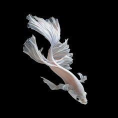 Photography by Visaruth Angkatavanich - Siam Fighting Fish