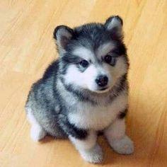 """@ """"cute dog"""" @ Его зовут Птомски. Наполовину шпиц, наполовину хаски. Он всю жизнь будет такого размера :)"""