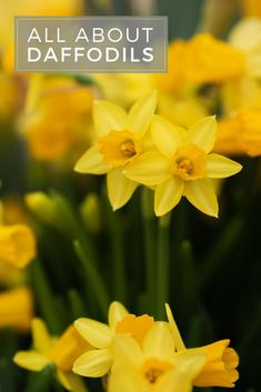 Know Before You Grow: Planting daffodil bulbs is easy. Learn all about daffodil bulbs including How to Plant Daffodil Bulbs, When to Plant Daffodil Bulbs, and Daffodil Bulb Care. Planting Daffodil Bulbs, Planting Bulbs, Daffodils, White Flowers, Beautiful Flowers, First Flowers Of Spring, Spring Perennials, Crocosmia, Garden Bulbs
