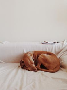 Relaxing vizsla by Tomáš Kopečný on Dachshund Puppies, Dogs And Puppies, Doggies, Hungarian Vizsla, Working Dogs, Whippet, Beautiful Dogs, Mans Best Friend, Dog Mom