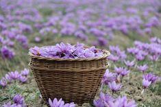 8 Best Anti-Cancer Plants or Herbs for Your Indoor Garden Saffron Plant, Saffron Flower, Crocus Plants, Mint Plants, Order Plants Online, Rain Lily, Rosemary Plant, Hibiscus Plant, Harvest Season
