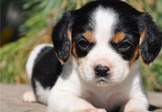 beaglier | Beaglier-Puppy-Picture