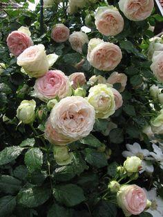 Large Flowered Climbing Rose 'Eden Climber' Must have! Eller Willestrup. Plantet ved stakittet i baghaven
