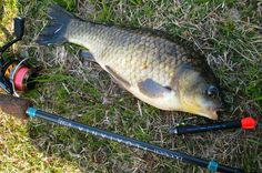 フナもペレットワグラーの釣りで良く釣れる
