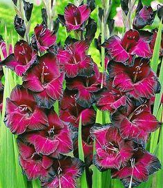 Riesen-Gladiole 'Schönheit der Nacht'                                                                                                                                                                                 Mehr