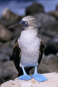 I have like Blue Footed boobies ever since I was  4 yrs old! The name might make you giggle, but these animals are critically endangered. That is no laughing matter!