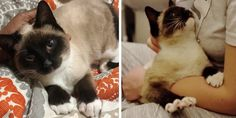 A street cat was so happy to have a warm place to stay and someone to cuddle with that he blissfully waved his little paws while snuggling in his rescuer's lap.Meet Tater Tot! Alley C This beautiful Siamese cat ended up on the streets of Brooklyn, New York. He showe...