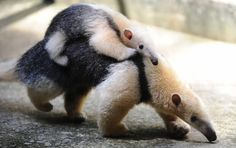 Trois genres de fourmiliers subsistent aujourd'hui : Cyclopes, le fourmilier nain, ou myrmidon, Tamandua, les tamanduas, et Myrmecophaga, le grand fourmilier, ou tamanoir.