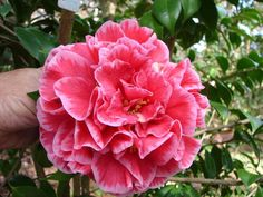 Camellia japonica 'Lundy's Legacy' (U.S., 2002)   Hooten has this one