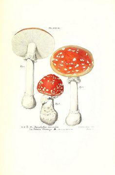 Iconographie des champignons de Paulet  New York,H. Baillière; [etc., etc.],1855.  biodiversitylibrary.org/item/104533