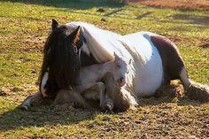 newborn horse cuddling with his mama