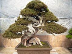 JPB: Bonsai Collection: 世界的に知られる盆栽界の巨匠、木村正彦氏所有の盆栽