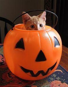 my cat, pumpkin pie, helps decorate for halloween