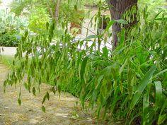Chasmanthium latifolium - Northern Sea Oats  (syn. Uniola latifolia)
