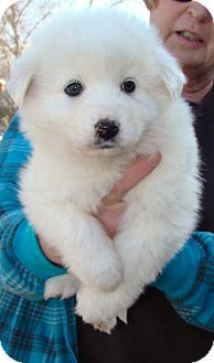 My dog Snow looked like this when she was a puppy, she is Great Pyrenees/Samoyed mix!