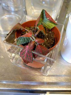 Vannet en tørr plante.  (Ormeskinn - Fittonia)