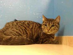 TO BE DESTROYED 12/21/13 Brooklyn Center  My name is LATIKA. My Animal ID # is A0986968. I am a female brn tabby domestic sh mix. The shelter thinks I am about 1 YEAR 6 MONTHS old.  I came in the shelter as a OWNER SUR on 12/09/2013 from NY 11378, owner surrender reason stated was INAD FACIL. VICTIM OF EVICTION...18 MO OLD, SUPER FRIENDLY.  https://www.facebook.com/photo.php?fbid=714246098587225&set=a.576546742357162.1073741827.155925874419253&type=3&theater