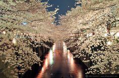 Στην Ιαπωνία οι ανθισμένες κερασιές γίνονται αφορμή για την πιο χρωματιστή γιορτή του χρόνου, το hanami.