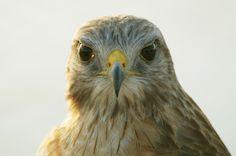 Red-Shouldered Hawk by Paul Brooke
