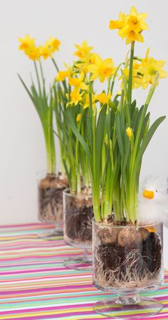 narcis tete a tete, het voorjaar in huis