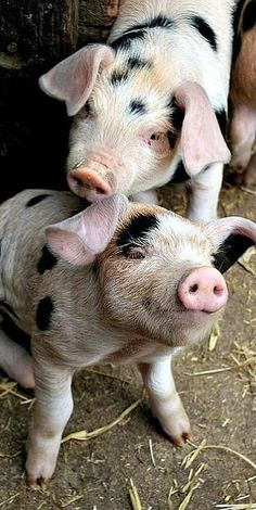 Cutest piggies of the week – Cute Animals - visit us for the full gallery farm animals Cute Baby Animals, Animals And Pets, Funny Animals, Animals Photos, Baby Pigs, Pet Pigs, Puppy Care, Pet Puppy, Cute Piglets